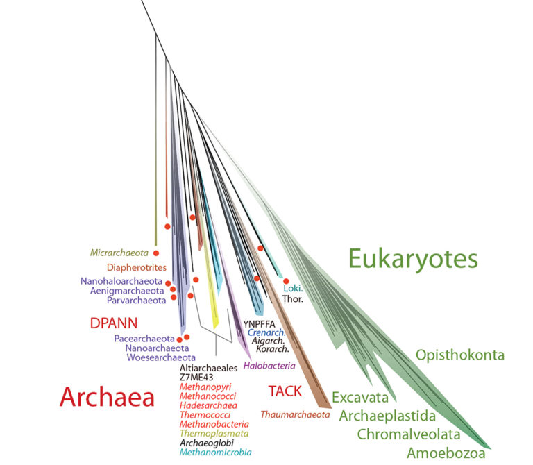 Archaea in the tree of life
