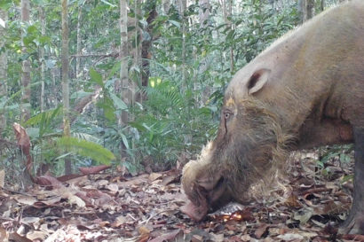 A bearded pig near an oil palm plantation in Borneo.