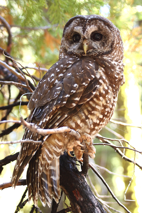 California Spotted Owl