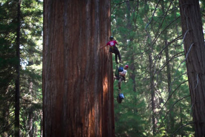 Climbers on giant sequoia.