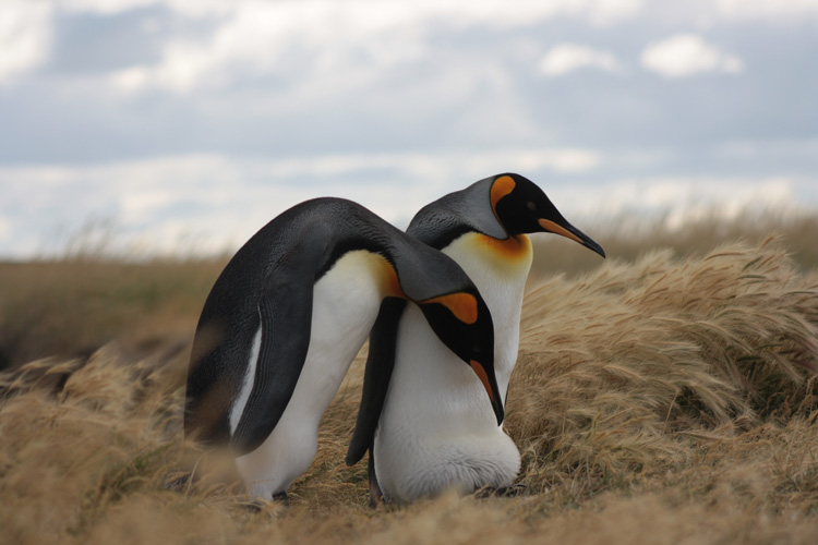 two king penguins among blowing grass