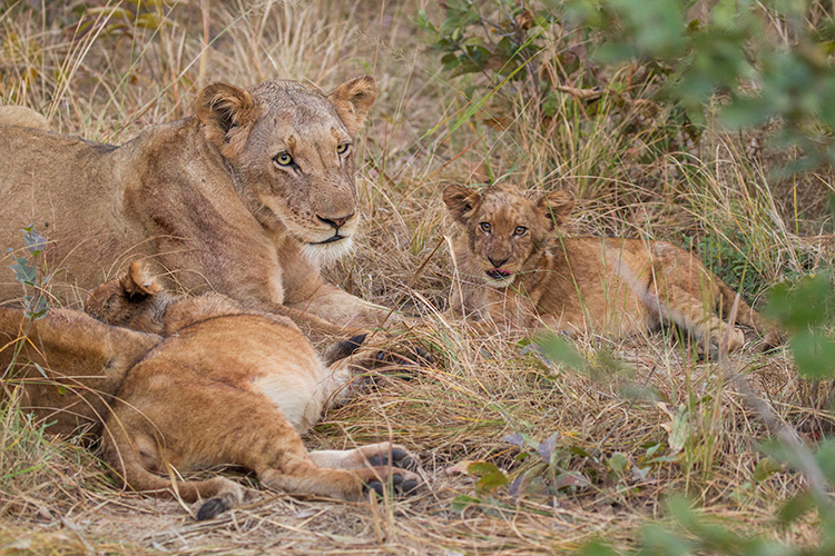 A lioness and two cubs in a grassy area