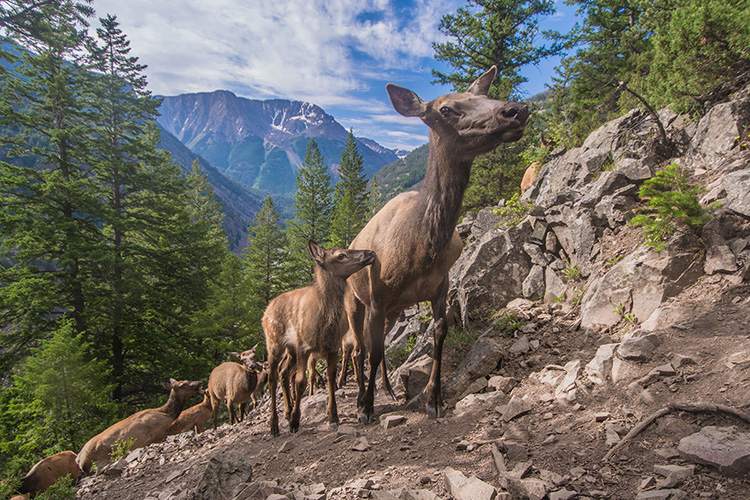 Elk migrate up a mountainside