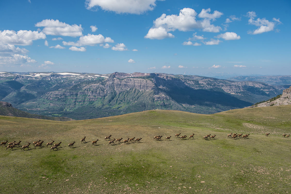 A herd of elk run along a high plateau