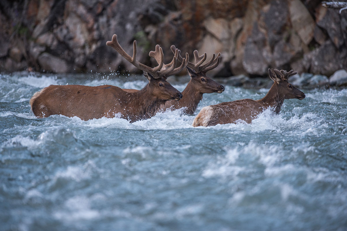 group of elk crossing a river