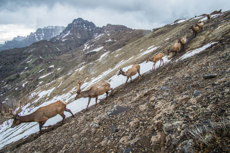 A line of elk on a mountainside