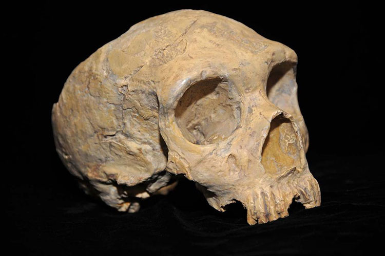 A photo of a Neanderthal skull against a black background