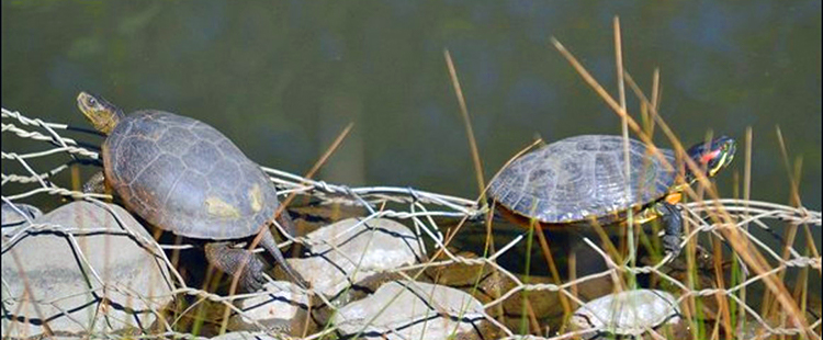 Western Pond Turtle and Red-Eared Slider side by side