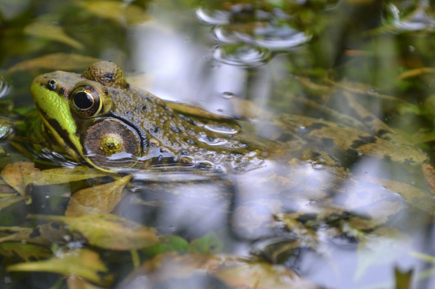 A frog's head coming out of the water.