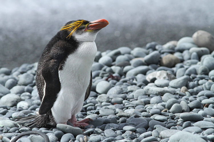 a royal penguin with its eyes closed against the bad weather