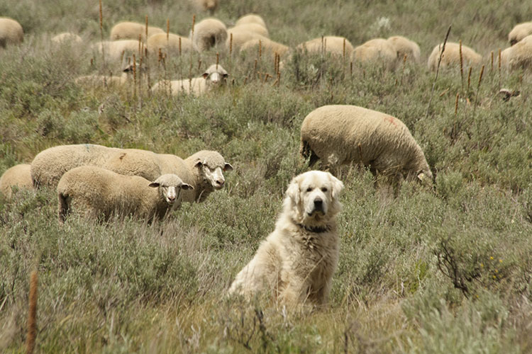 a white sheep dog sitting in deep grass with a herd of sheep in the background