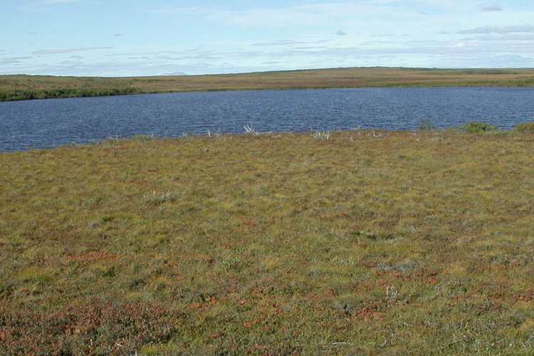 Shrub tundra next to the water near kotzebue