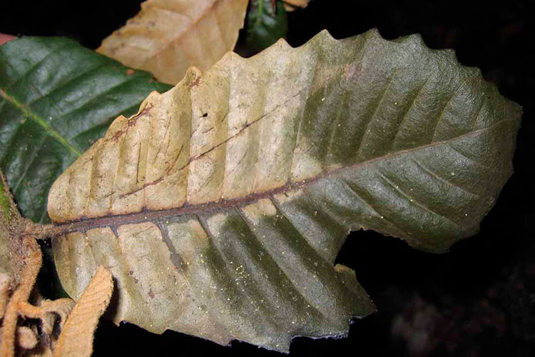 tanoak tree leaves with pathogen