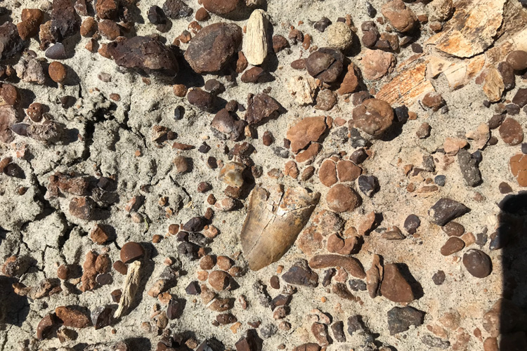 the tooth of a Tyrannosaur embedded among sand and pebbles