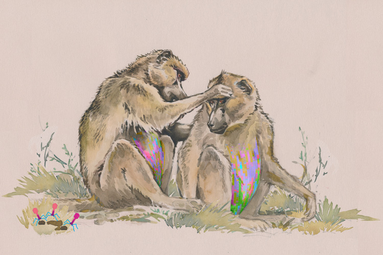 baboons grooming one another