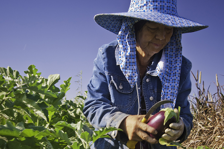 Worker in California farm field harvesting eggplant