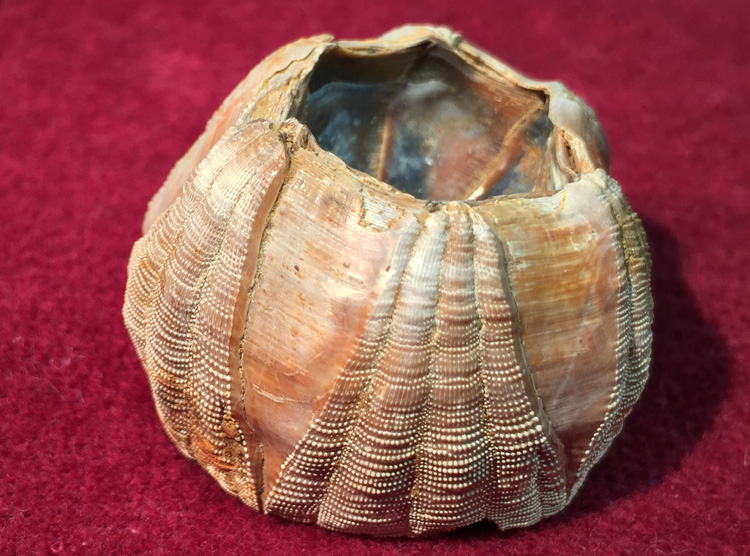 fossilized whale barnacle