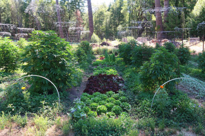 A small garden in the woods growing lettuce and cannabis plants.