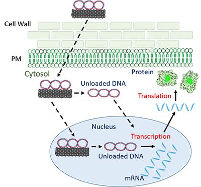 illustration of carbon nanotube carrying plasmid DNA penetrating cell wall to enter cell's nucleus, resulting in production of new protein.