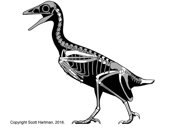 skeleton of fossil bird