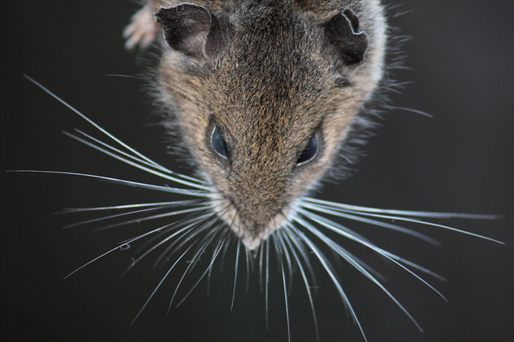mouse whiskers