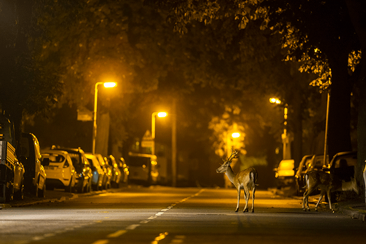 Deer walking in a residential area at night