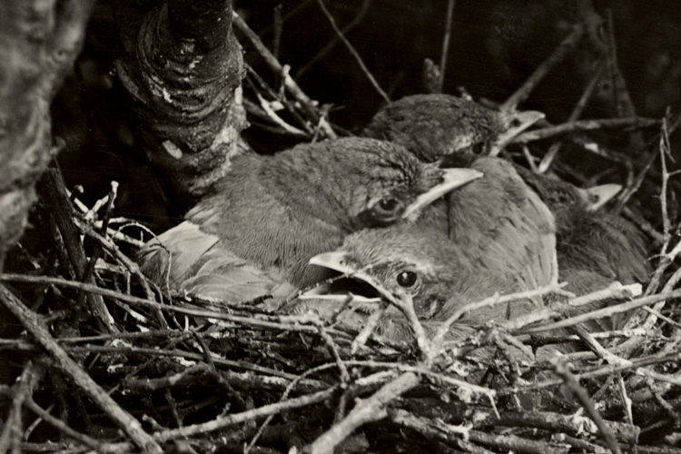California scrub jay nestlings
