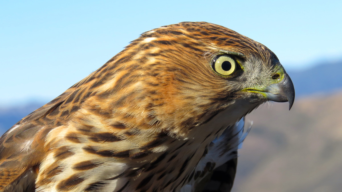 Sharp-skinned hawk in California