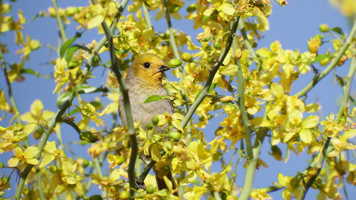 Verdin in the California desert