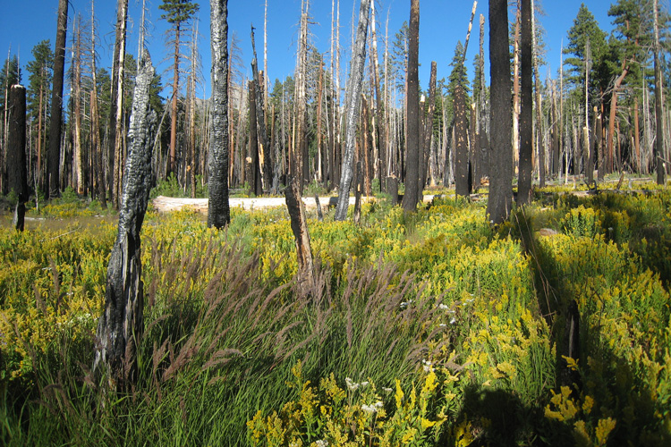 A severe fire cleared an area of forest in the Illilouette Creek basin in Yosemite National Park, allowing it to become a wetland. Wetlands and meadows provide natural firebreaks that make the area less prone to catastrophic fires