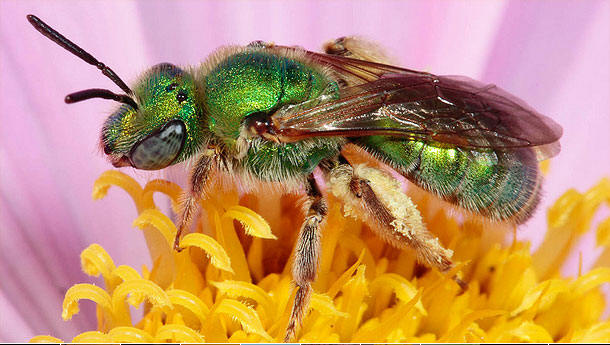 green bee polinating