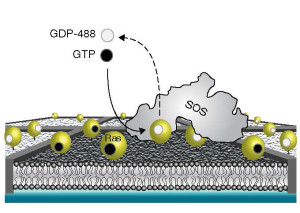 In this supported membrane array experimental setup, nanofabricated chromium metal lines (10 nm high and 100 nm wide) partition a supported bilayer into micrometer-scale corrals that trap Ras proteins activated by SOS molecules.