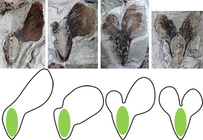 270 million-year-old fossils from Texas show that early conifers produced a variety of winged seeds to aid dispersal by the wind. Cindy Looy and her team made identical models to test their effectiveness at seed dispersal and find out why only one variety of whirling seed – ones with single wings (left) – exists in today's conifers. Images: Cindy Looy