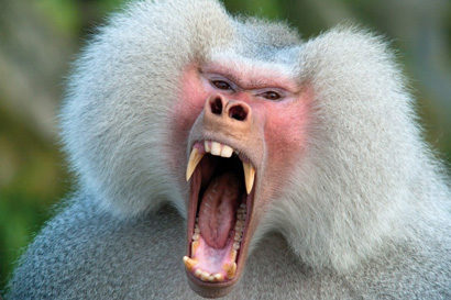 Image of: Smile Uc Berkeley Paleontologists Studied The Molars And Premolars Of Baboons To Uncover Inherited Dental Traits That Can Help Track Primate And Human Evolution Artsci Changes In Primate Teeth Linked To Rise Of Monkeys Research Uc