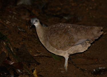 The great tinamou is an evolutionarily distinct bird that declines in farmland but thrives in tropical rainforest. Photo: Daniel Karp
