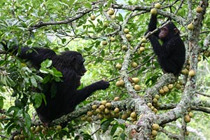 Eastern chimpanzees eating figs in Kibale National Park, Uganda. Photo: Alain Houle.