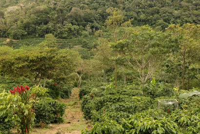 Diversified farms, such as this coffee plantation in Costa Rica, house substantial phylogenetic diversity. Photo: Daniel Karp