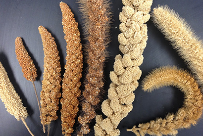 Various varieties of dried millet ears