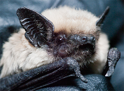 A canyon or pipistrelle bat