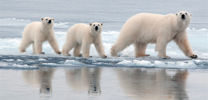 UC Berkeley Research: Polar bear genome gives new insight into ...