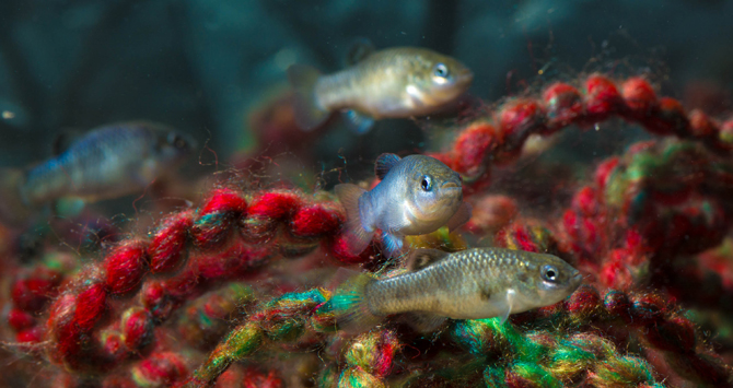 "Devils Hole pupfish in the Ash Meadows Fish Conservation Facility in Nevada's Amargosa Valley. These individuals hatched from eggs removed from Devils Hole in November 2013. Males with the blue tint court the olive colored females. Eggs are deposited on the yarn ""spawning mops."" Photo: Olin Feuerbacher, U.S. Fish and Wildlife Service"