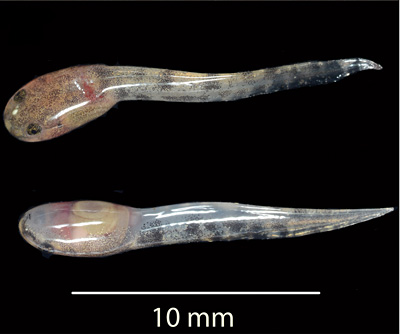 Newborn tadpole (top and bottom views) of the newly described fanged frog.