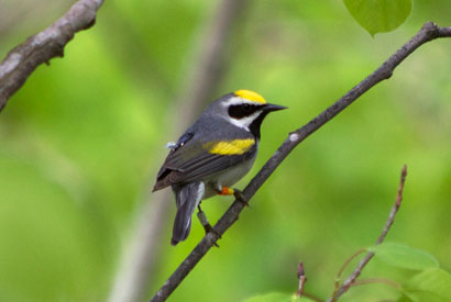 This male golden-winged warbler is carrying a geolocator on its back (appears black with white light sensor) and identification bands on its legs. (Photo by Gunnar Kramer)