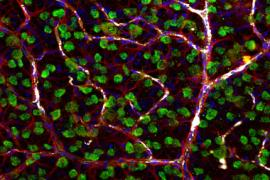Retinal ganglion cells, astrocytes, and blood cells