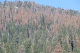 swath of dead trees in the Sierra Nevada