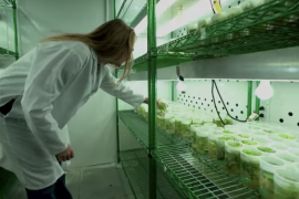 Scientist leaning over vials with plants