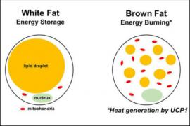 graphic of white fat and brown fat energy storage and burn