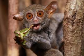 spectral tarsier feeding on a grasshopper