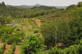 A photo of a hillside vineyard that combines vines, crops and orchards.