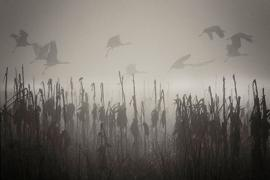 Cranes fly through the fog over a marsh